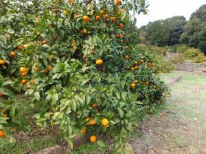 現在の橘香園